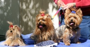 Toy Yorkies ready for show