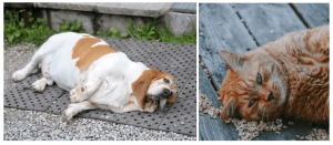 obesity in cats and dogs