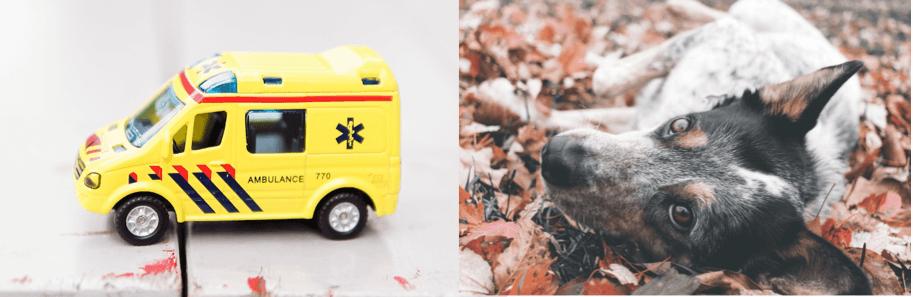 Ambulance | dog lying in grass
