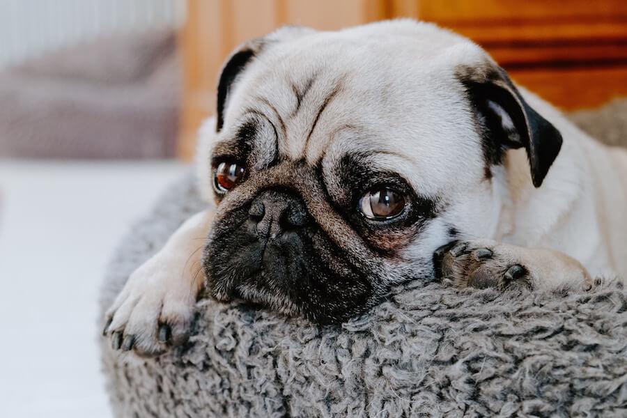sad looking pug