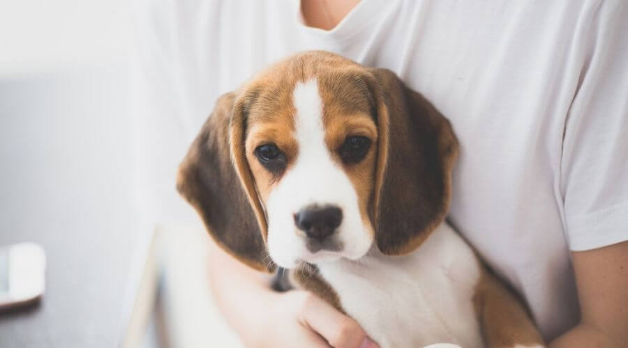 Beagle puppy in arms of a boy wearing white t-shirt
