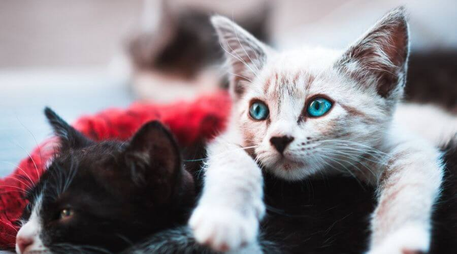 black and white kitten lying down