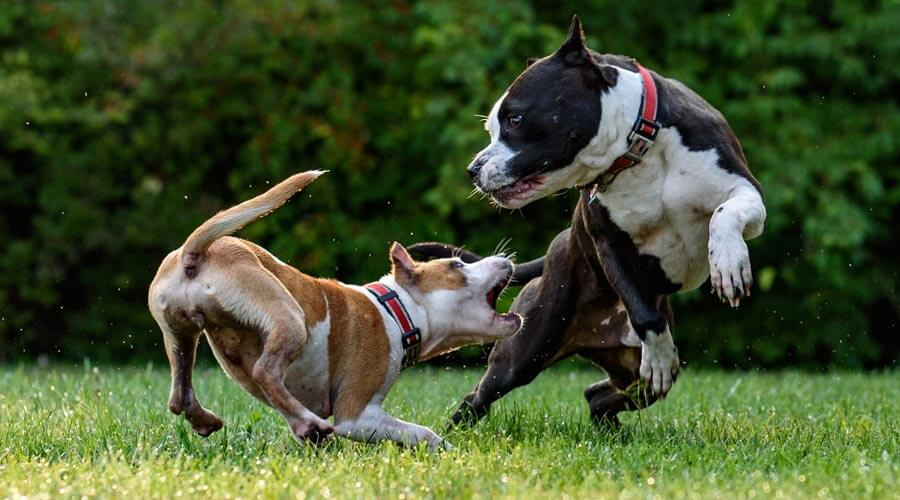 dogs fighting | dog bite
