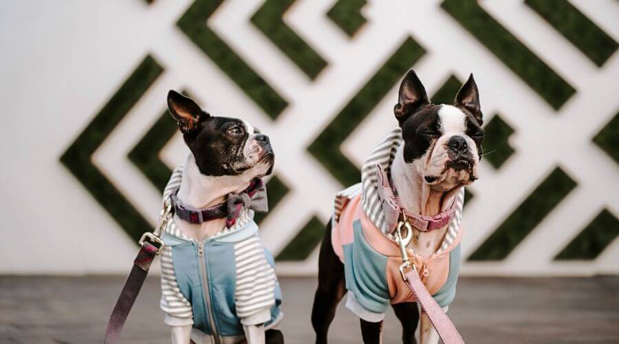 French bulldogs dressed up