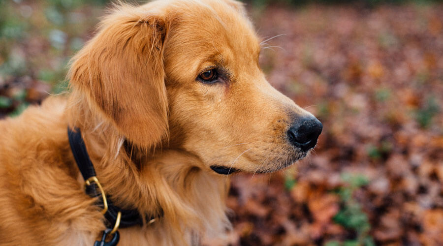 golden retriever with lead on