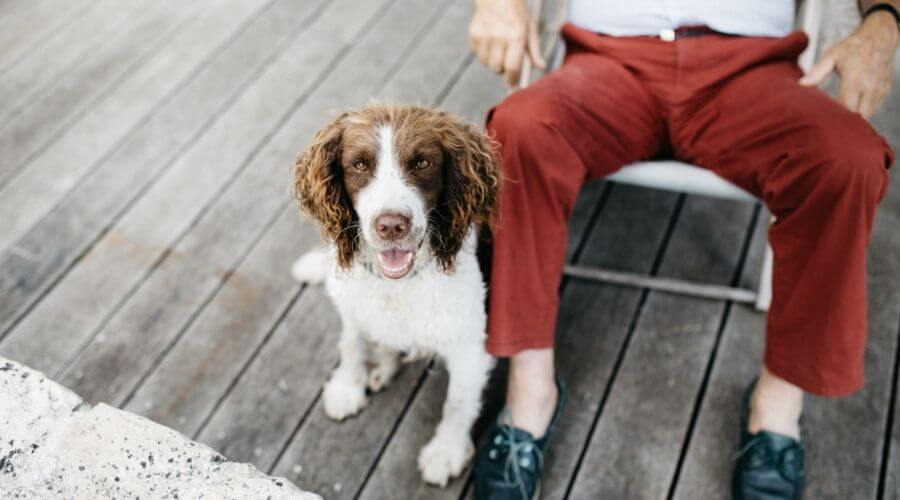 brown and white spaniel sitting next to owner outdoors