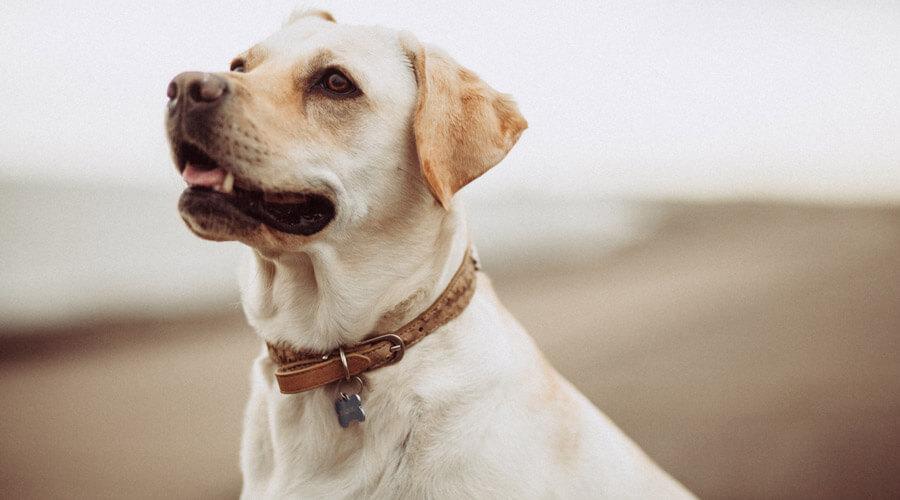 ageing dog labrador