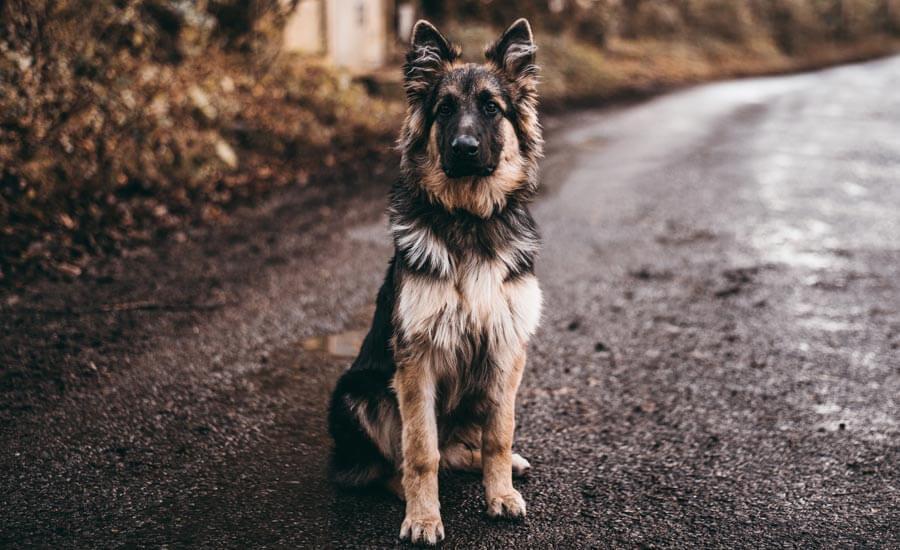 lost german shepherd