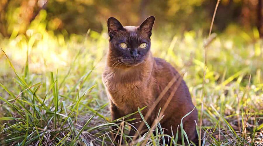 Burmese cat, high risk of diabetes