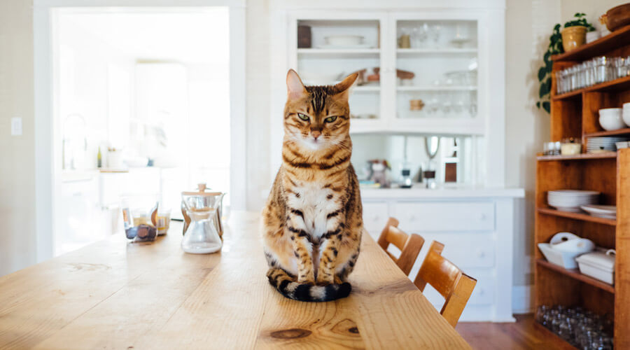 Cat sat on kitchen table, pet safety in the home