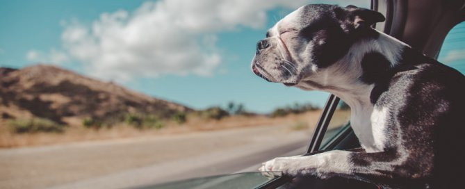 dog hanging head out car window | pet travel safety