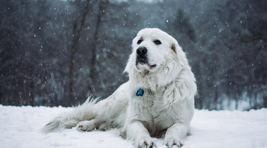 white dog outdoors in winter snow