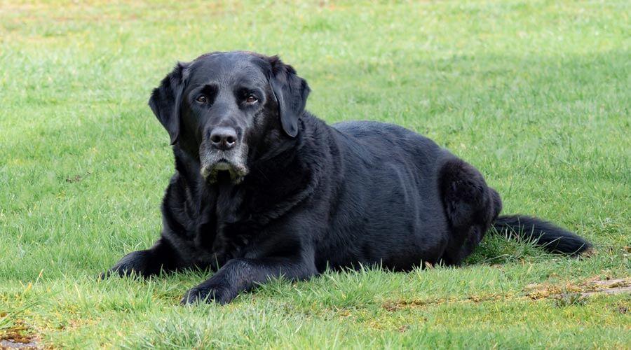 senior pets black labrador
