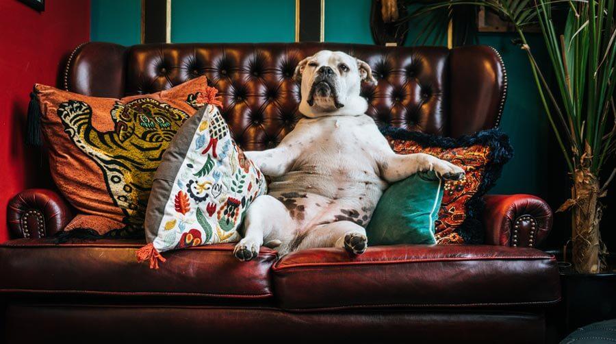 dog lounging on sofa