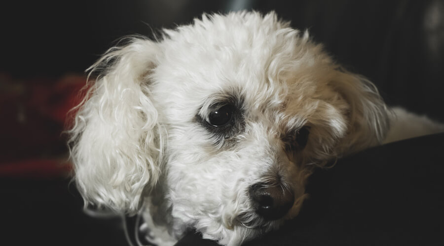 Bichon Frise cataracts in dogs