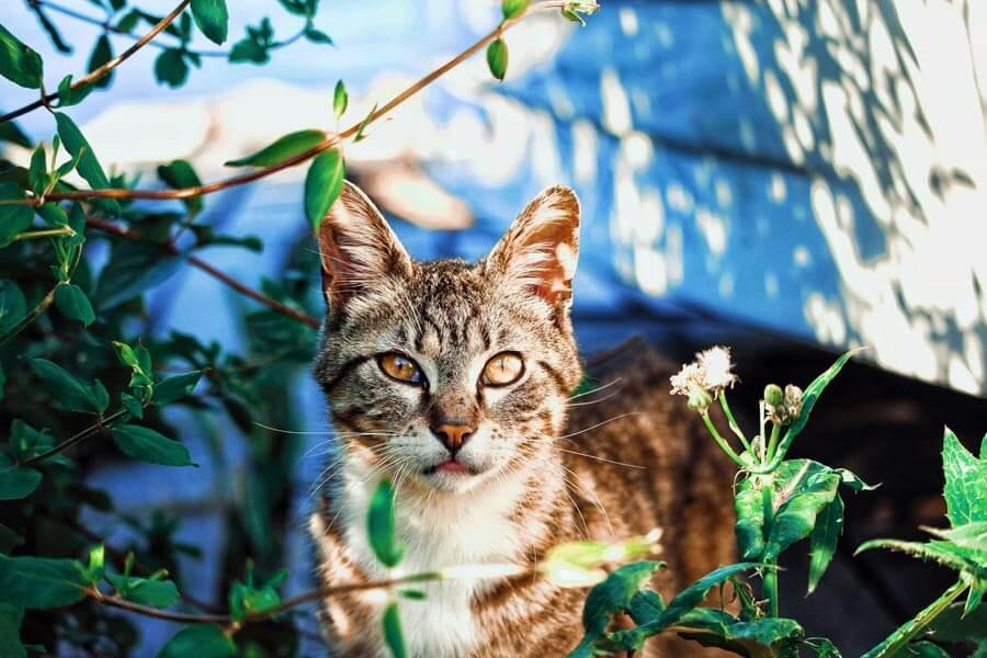 Cat in plants, hazards