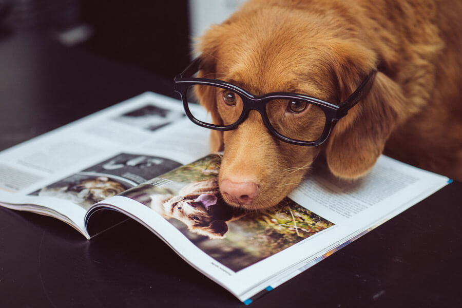 dog wearing reading glasses