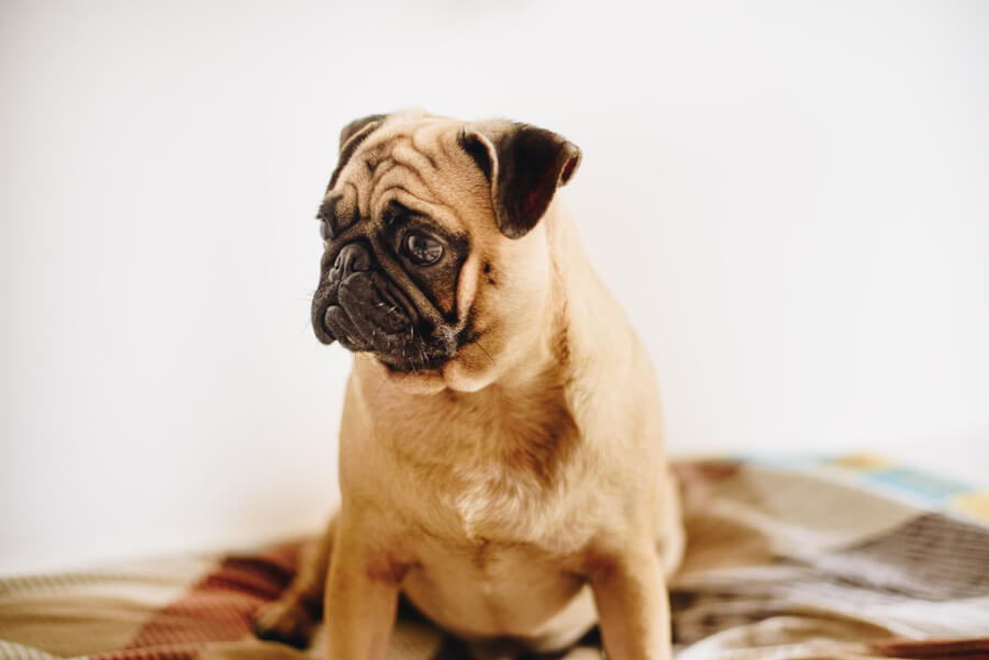 sad pug, dog anxiety