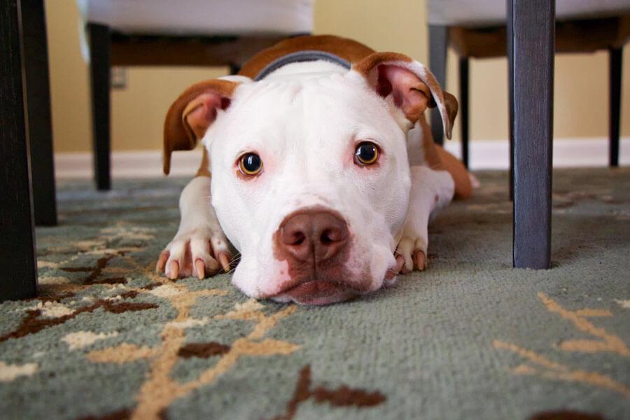 animal pain, sad dog