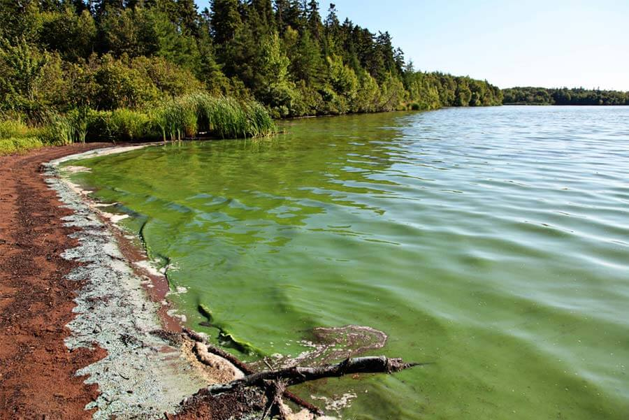 lake blue-green algae toxicity