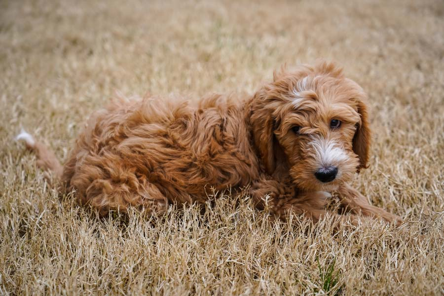 brown curly-haired dog in grass summer