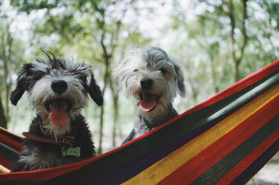 happy dogs outdoors on hammock