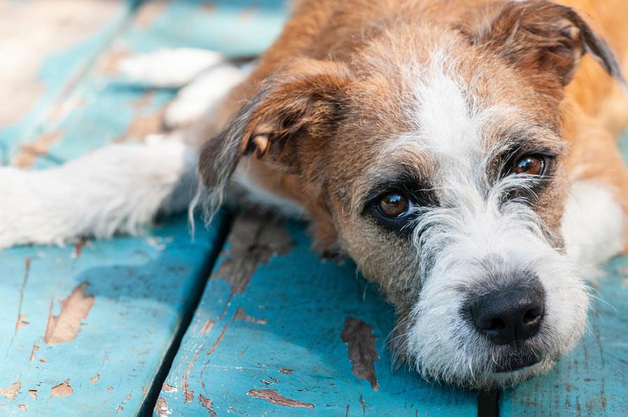 terrier looking sad