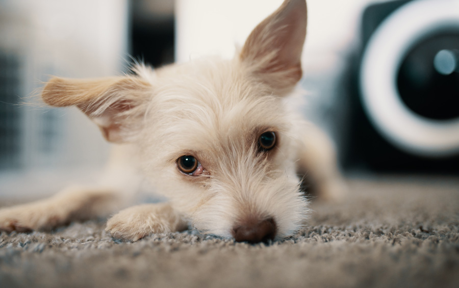 Cancer In Dogs What Info Advice Should You Be Giving Pet Owners Petprofessional