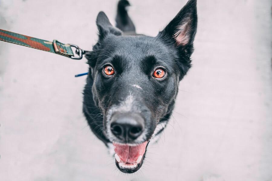 black dog on lead