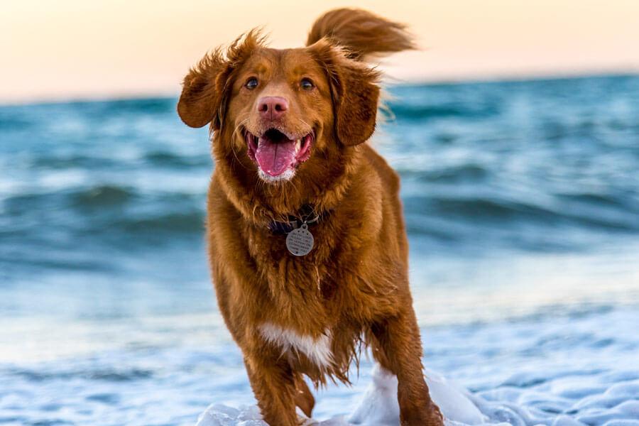 brown dog at beach