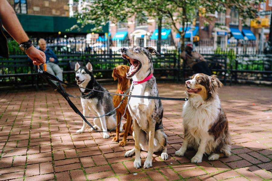 four dogs on leads, dog walker