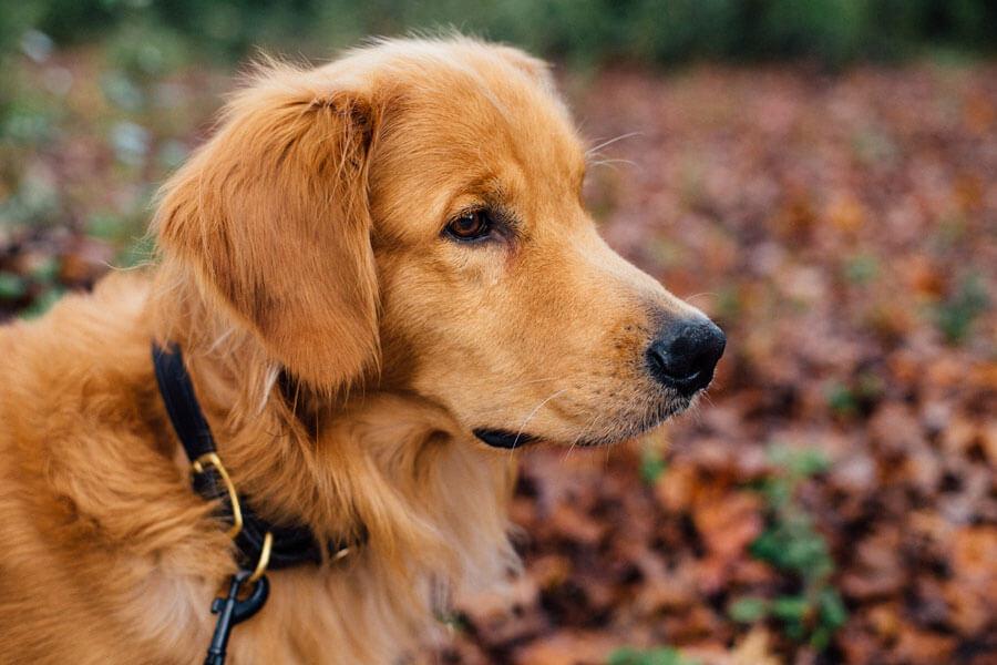 golden retriever on leash