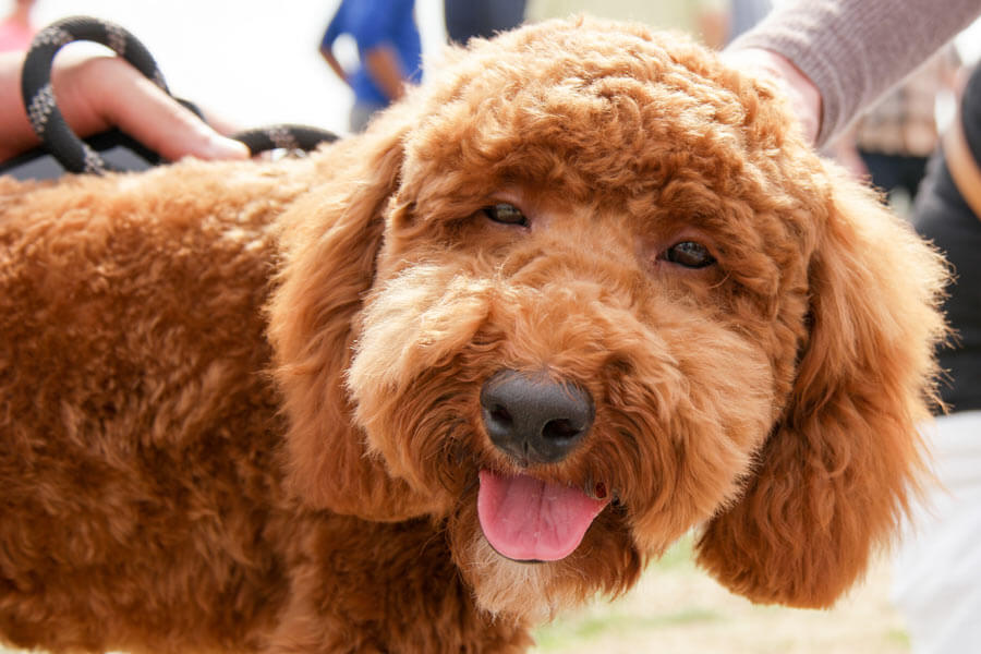 brown curly-haired dog