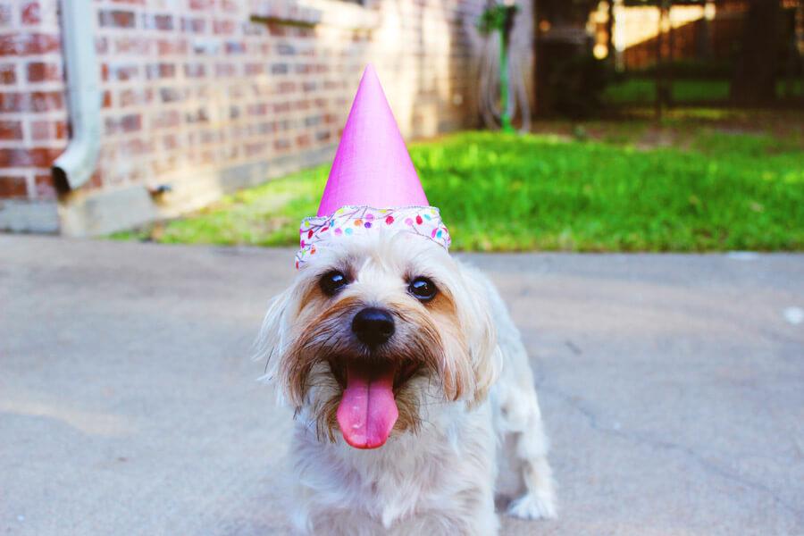 white dog wearing party hat, dog birthday