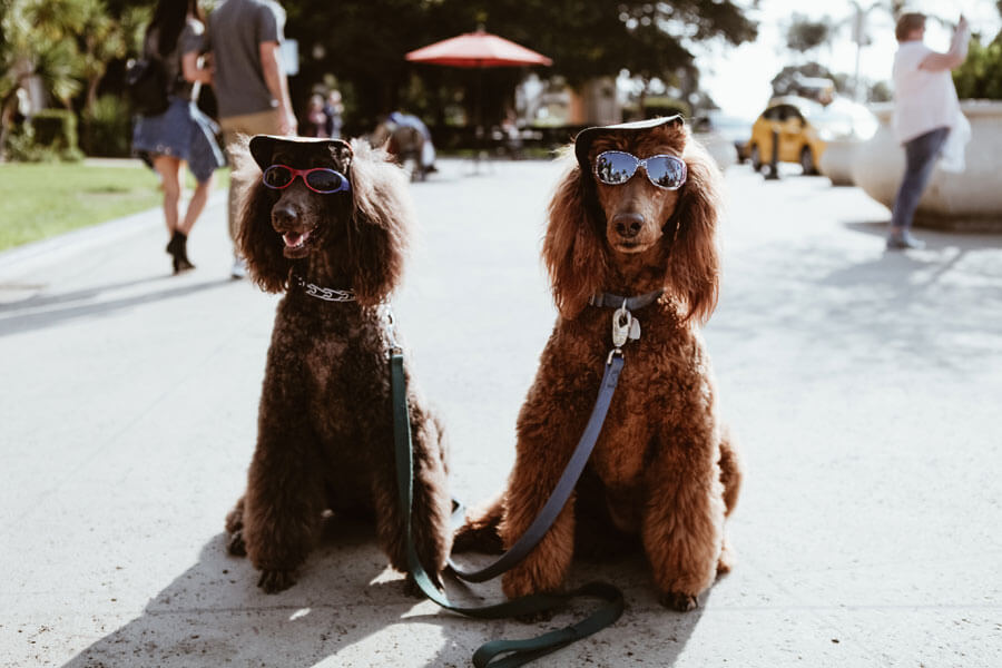 two dogs wearing sunglasses and caps, pet humanisation