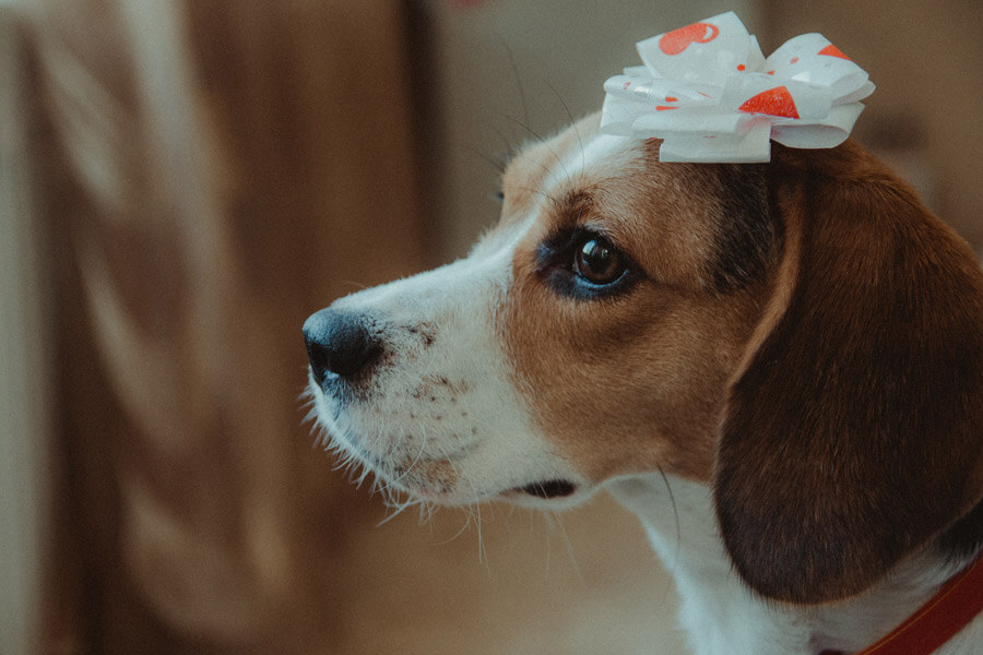 beagle with bow on its head | pet grooming