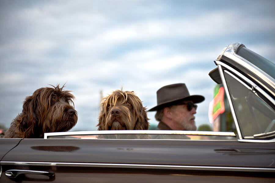 pet humanisation, dogs riding in convertible car