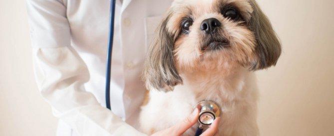 vet listening to dog's heartbeat
