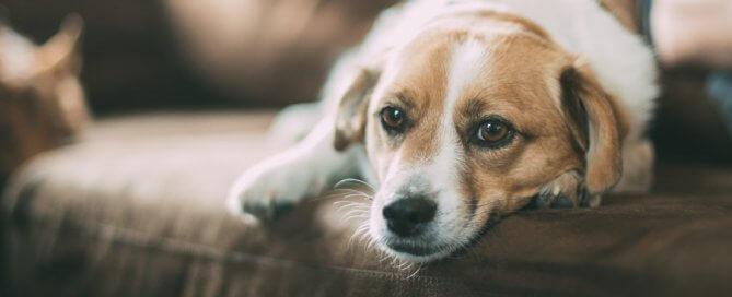 brown and white dog lying on sofa