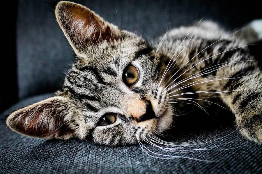 grey cat lying on sofa