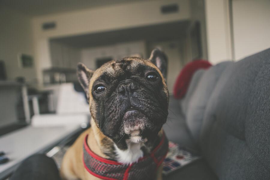 dog sitting on grey sofa, property damage insurance