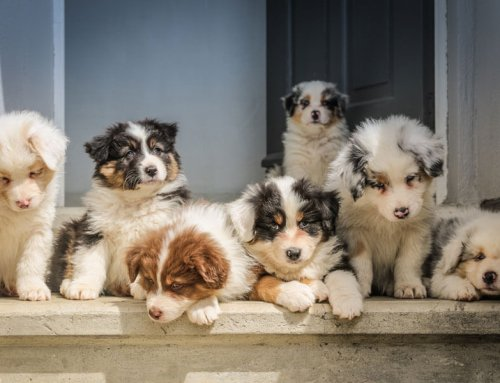 Dog breeding — the pros and cons