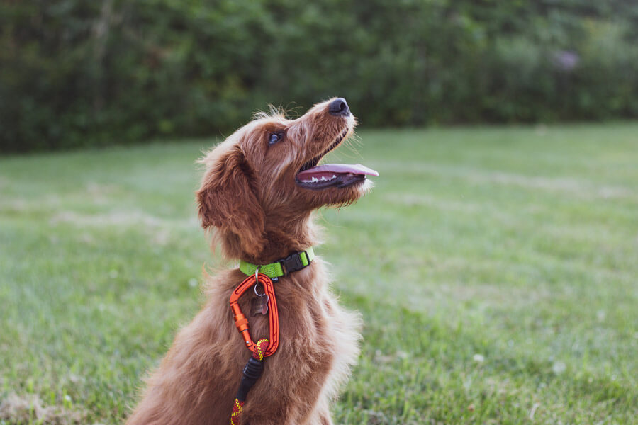 obedient brown scruffy dog sitting