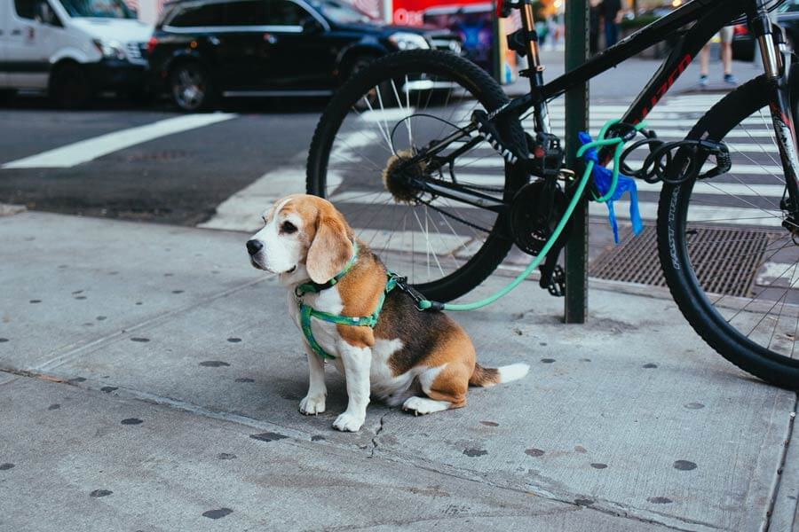 beagle sitting on pavement next to bike, positive dog training