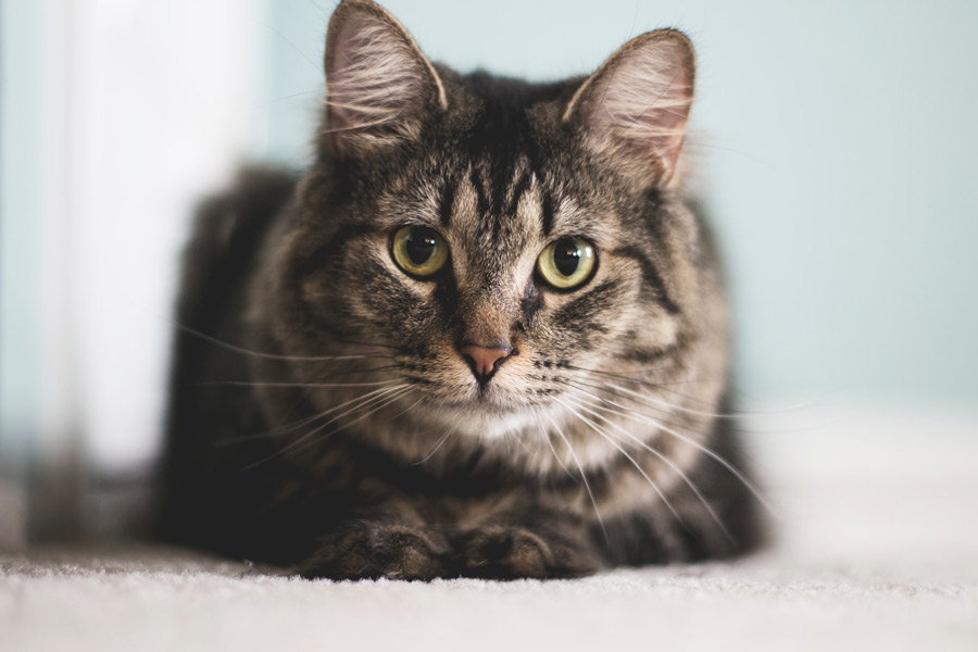grey and black cat sitting on the floor