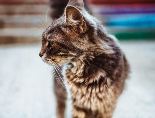 Heart disease in cats (cardiomyopathy)