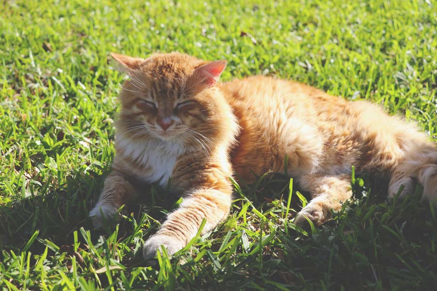 ginger cat lying on grass in the sun