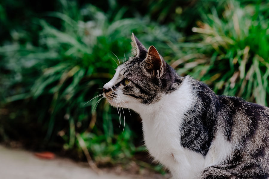grey and white cat outdoors