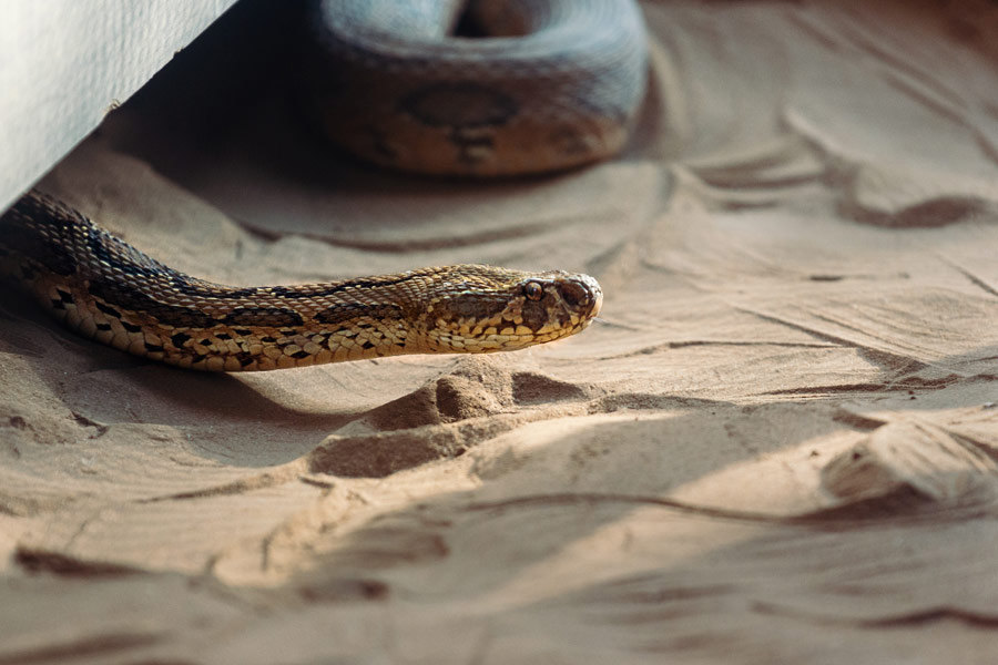 Brown snake in the sand