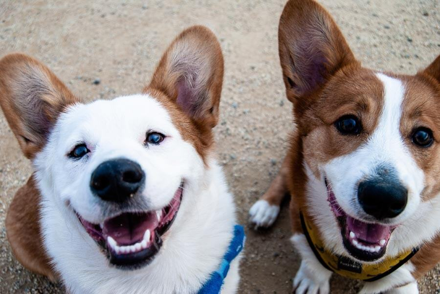 two corgis, smiling